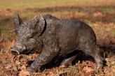 """Figur """"Wildschwein"""" braun/schwarz, 55 cm lang"""